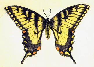 Tiger Swallowtail | Jessica Lopez